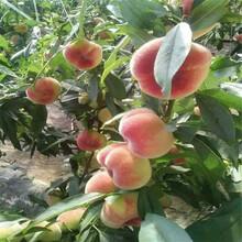 三年桃树苗货到付款包成活率三年桃树苗图片