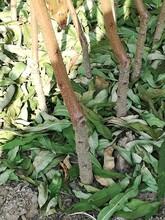 桃樹苗價格保證純度互利共贏桃樹苗好管理嗎圖片