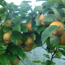 嫁接梨树苗、花瓣梨苗、六月酥梨苗出售价格图片
