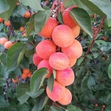沙金红杏树苗多少钱一棵、杏李苗哪里批发图片