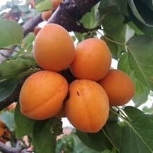 红丰杏树苗多少钱一棵、黄金蜜杏苗哪里批发图片