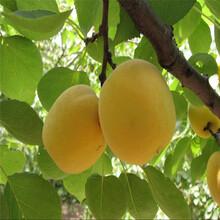 毛红杏树苗多少钱一棵、508杏苗哪里批发图片