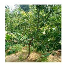 阿克苏杏树苗多少钱一棵、三年杏苗哪里批发图片