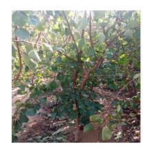 大果杏树苗多少钱一棵、满园香蜜杏苗哪里批发图片