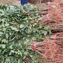 试管杏树苗多少钱一棵、美林黄杏苗哪里批发图片