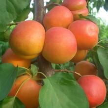 围选杏树苗多少钱一棵、极早熟一号杏苗哪里批发图片