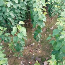 火村红杏树苗多少钱一棵、新世纪杏苗哪里批发图片