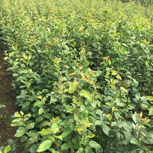 鲁南早香杏树苗多少钱一棵、金中香杏苗哪里批发图片