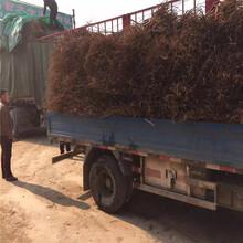 维纳斯葡萄苗多少钱一棵、黑三天葡萄树苗基地图片