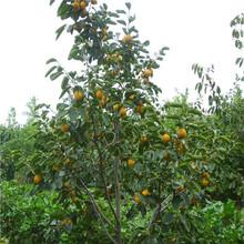 柿苗报价、秋艳甜柿苗、鸡心柿苗哪里买图片