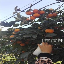 柿苗报价、月神柿苗、次郎柿子苗哪里买图片