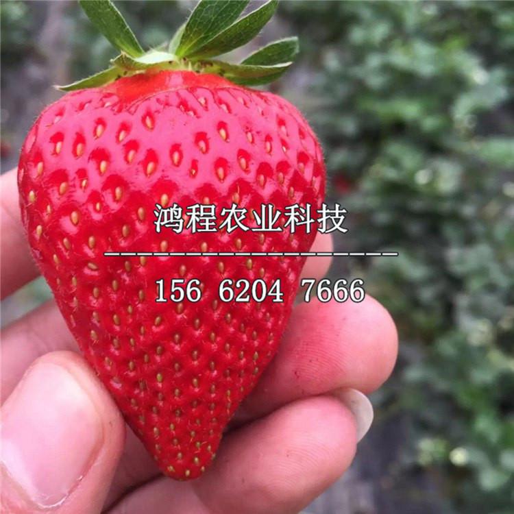 红颜草莓苗、2019年红颜草莓苗报价