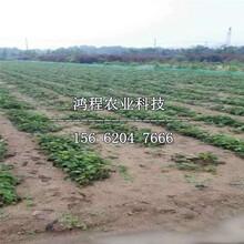 日本淡雪草莓苗多少钱一棵图片