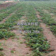 红颜草莓苗、2019年红颜草莓苗报价图片