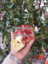 淮北軟籽石榴1號石榴苗多少錢、淮北軟籽石榴1號石榴苗價格及報價圖片