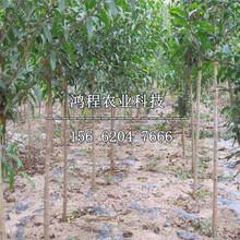 中農黑籽石榴苗多少錢、中農黑籽石榴苗價格及報價圖片