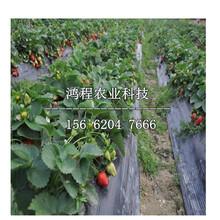 美十三草莓苗报价、美十三草莓苗价格及报价图片