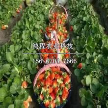 日本淡雪草莓苗出售价格、日本淡雪草莓苗价格多少钱图片