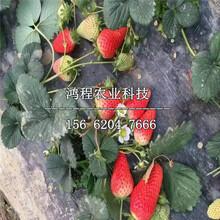 大棚四季草莓苗、大棚四季草莓苗哪里买图片