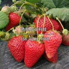 美十三草莓苗价格、美十三草莓苗一棵多少钱图片