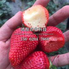 小白草莓苗出售、小白草莓苗哪里出售图片