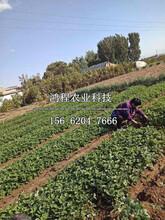 章姬草莓苗价格图片
