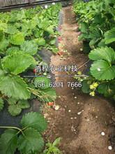 妙香七号草莓苗哪里购买、妙香七号草莓苗基地图片