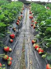 甜查理草莓苗出售价格、甜查理草莓苗价格多少钱图片