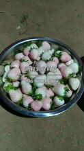 山口草莓苗出售价格、山口草莓苗价格多少钱图片