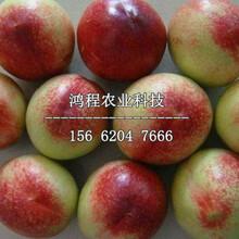 红久鲜桃苗价格多少钱、红久鲜桃苗报价多少钱图片