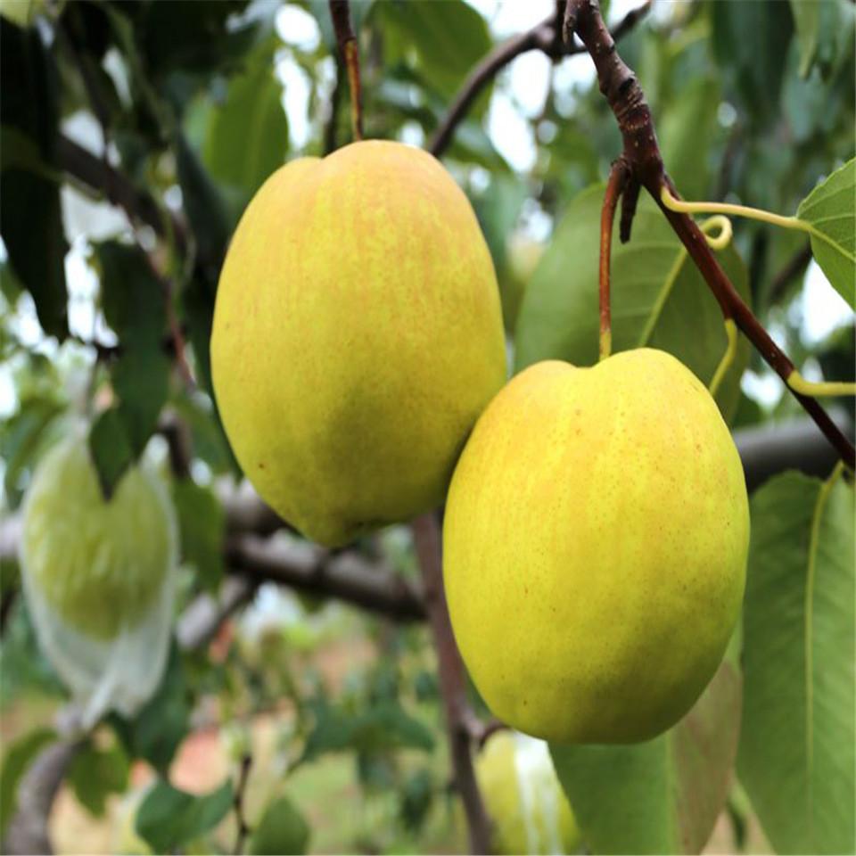【金果梨树苗种植和养护、金果梨树苗(现货价格)】-供应-黄页88网