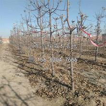 中熟苹果苗产地、中熟苹果苗新品种图片