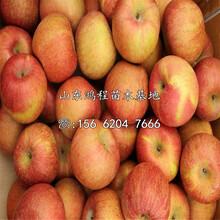 中熟苹果树苗批发价格图片