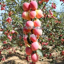 五公分苹果苗产地、五公分苹果苗新品种图片