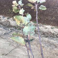 日本富士苹果苗产地、日本富士苹果苗新品种图片