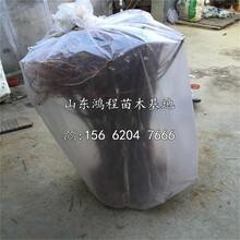 大红荣苹果苗产地、大红荣苹果树苗新品种图片