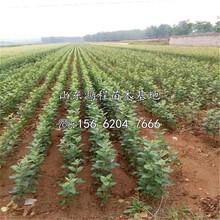 桑萨苹果苗产地、桑萨苹果树苗新品种图片