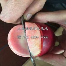黑钻苹果苗基地、黑钻苹果苗价位图片