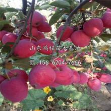山东五公分苹果苗基地、五公分苹果树苗供应图片