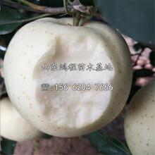 红玫瑰苹果苗供应、红玫瑰苹果苗价格图片