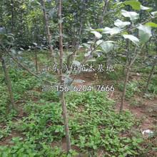烟富苹果苗产地、烟富苹果树苗新品种图片