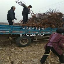 香紅蜜梨樹苗、香紅蜜梨樹苗上車價格圖片