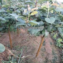 供應三年梨樹苗、三年梨樹苗基地報價表圖片