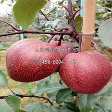 蘇翠2號梨樹苗、蘇翠2號梨樹苗種植基地圖片