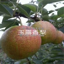 兩公分水晶梨樹苗價格公示圖片