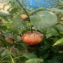 皇冠梨樹苗批發價格圖片
