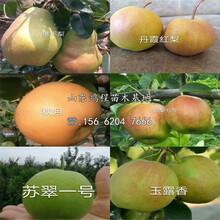 蘇翠二號梨樹苗、蘇翠二號梨樹苗供應圖片