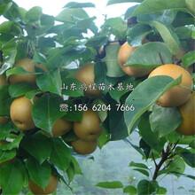 紅梨樹苗價格、紅梨樹苗價格及報價圖片