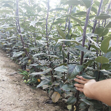 批發玉露香梨樹苗、玉露香梨樹苗價格圖片