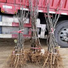五月紅梨樹苗供應出售圖片